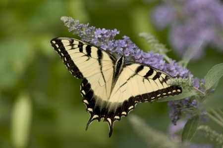 A Tiger Swallowtail Butterfly on a Lavender Flower Stock Photo