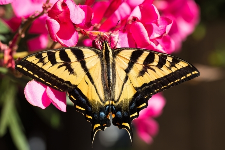 A Tiger SwallowTail Butterfly on an Oleander Bloom Stock Photo