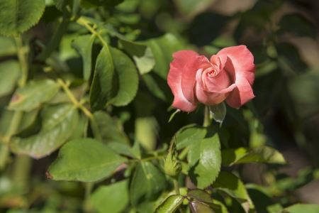 An isolated Pink Rosebud opening Stock Photo