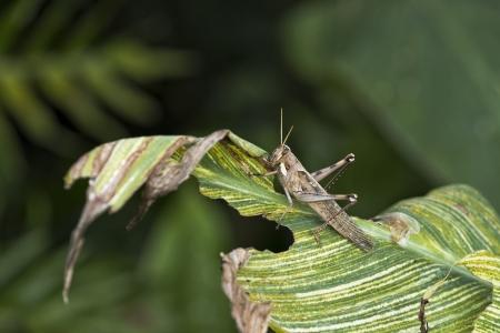 A large grasshopper eating a leaf