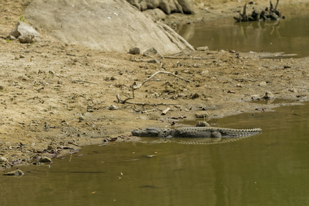 Alligator basking in the sun on a river bank Stock Photo