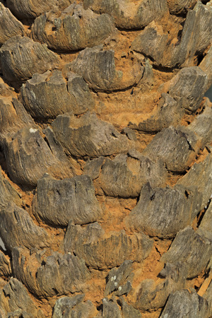 Close up of a Palm Tree Trunk Stock Photo