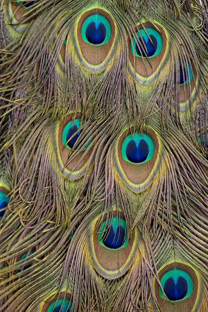 A Backdrop of Golden Peacock Feathers