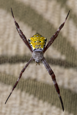 Hawaiian Garden Spider  photo