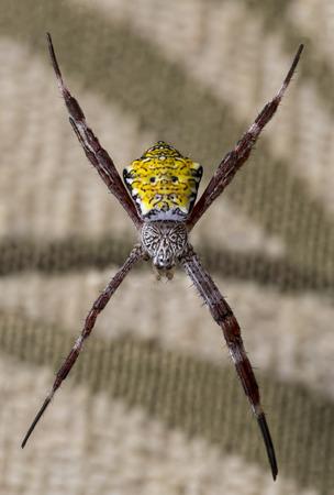 Hawaiian Garden Spider