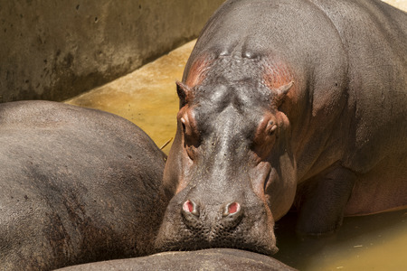 Hippo resting its snout on another hippo s backside Stock Photo