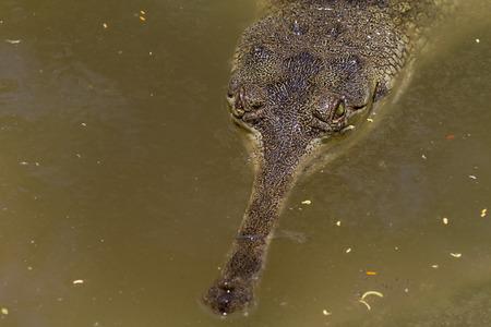 Lurking Crocodile Stock Photo