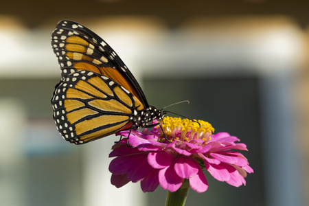 Monarch Butterfly Drinking on a Pink Zinnia Stock Photo