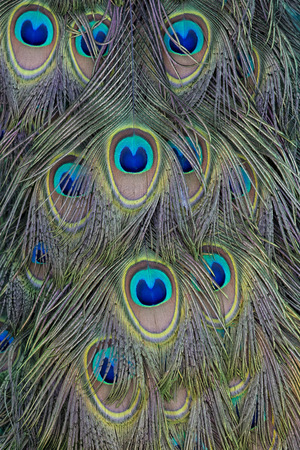 A Backdrop of Peacock Feathers