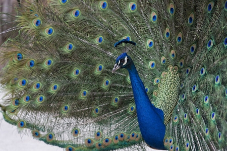 A Peacock showing off its feathers