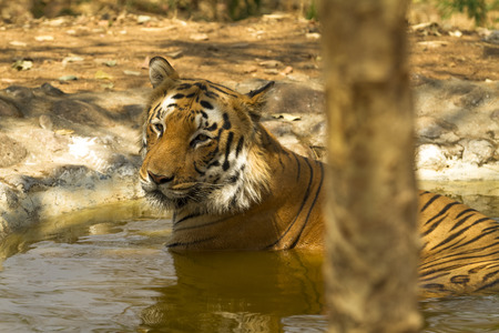 Tiger bathing in a pool
