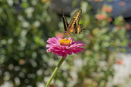 Yellow Butterfly Landing on a Zinnia Stock Photo
