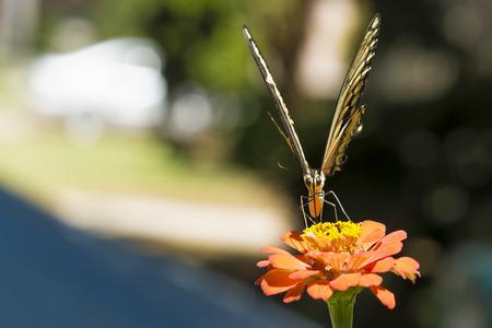 Yellow Tiger Swallowtail butterfly on a Orange Zinnia