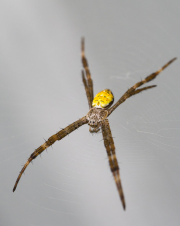 Hawaiian Garden Spider, Argiope Appensa
