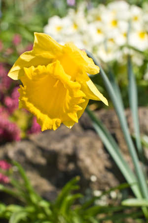 A lone daffodil stands out amongst the other flowers in a springtime garden Stock Photo - 13128751