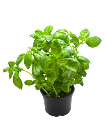 A pot of Basil, isolated on a white background. Stock Photo
