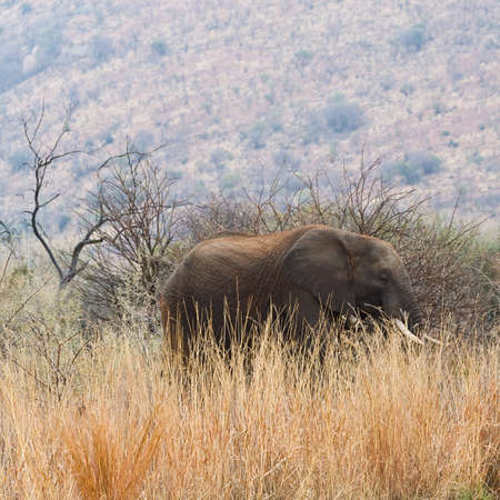 A large African Elephant walks amongst the long grass of Pilanesberg National Park, South Africa Stock Photo - 15503833