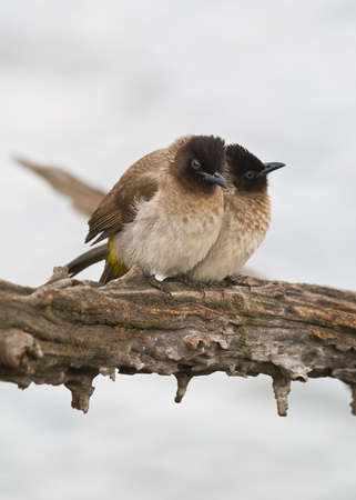 A pair of Dark-Capped Bulbul photo