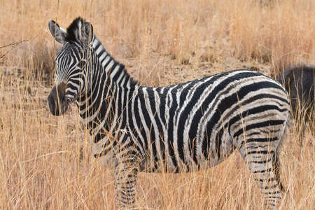 animals in the wild: A Zebra amongst the long-grass in South Africa