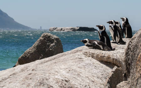 penguins on beach: A group of Jackass African Penguins keep lookout from the top of a rock at Boulders Beach, Simonstown, South Africa Stock Photo