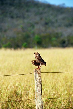 burrowing: Burrowing Owls, Pantanal, Brazil