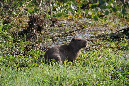 rodent: A Capybara in the Pantenal, the worlds largest rodent