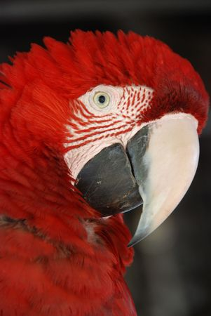 A close-up of a Maccaw / Parrot in the Pantanal Stock Photo - 4962819