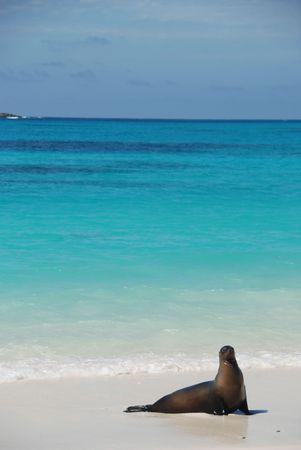 A Sea lion poses on Isla Espanola in the Galapagos photo