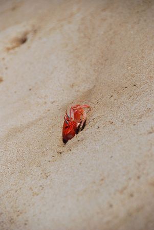 fiddler: A red Galapagos fiddler crab emerges from his hole