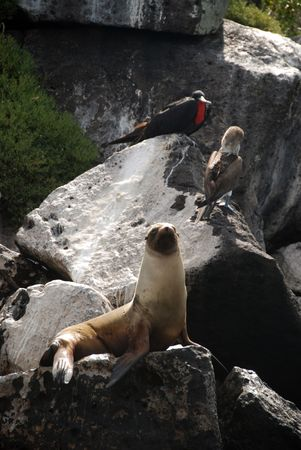 boobie: A seal, a blue-footed boobie and a Frigate bird (displaying) on a rock in the Galapagos Stock Photo