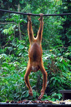 hanging around: Un orangut�n dando vueltas Foto de archivo