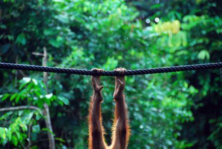 hominid: Gambe di un orangutan del Borneo Archivio Fotografico