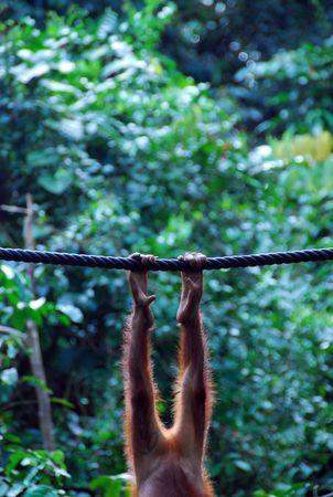 utang: Legs of an Orangutan in Borneo