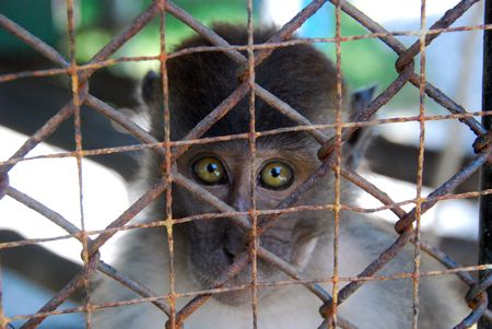 help me: Caged Monkey in Thailand