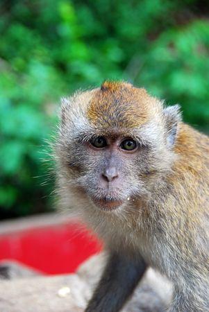 macaque: Singe macaque