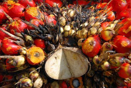 palm oil plantation: Palm oil fruits
