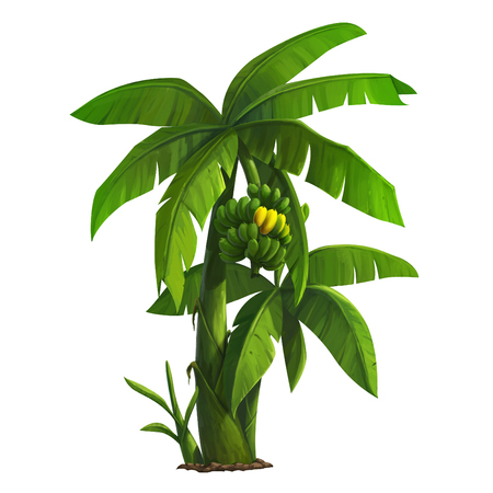 illustration of banana tree and ripening bananas 版權商用圖片