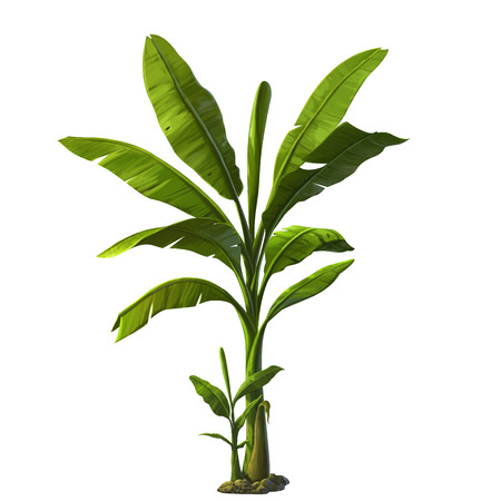 jungle plants: banana tree isolated on white background