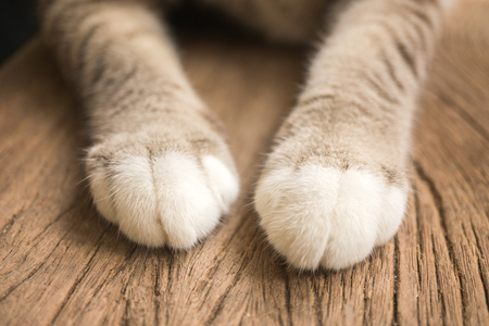 A pair of cute cat legs on a wooden floor 版權商用圖片