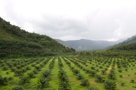 Oil Palm  Agricultural area photo