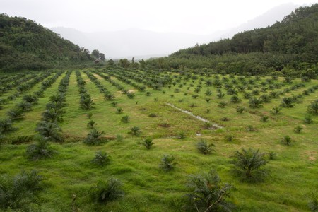 fruit trade: Oil Palm  Agricultural area