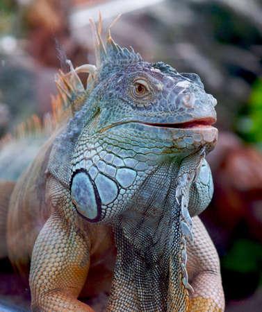 cold blooded: iguana Stock Photo