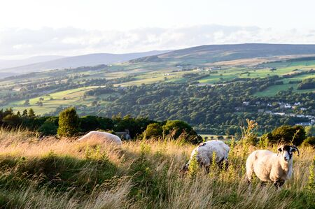Sheep grazing. Ilkley moor. Yorkshire