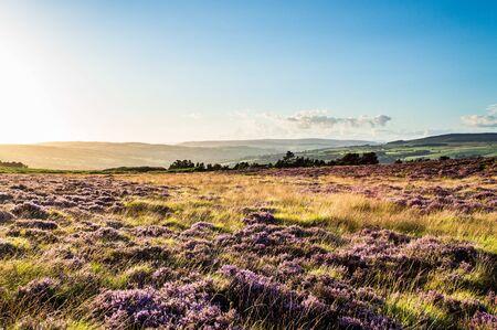 Purple heather. Ilkley moor. Yorkshire