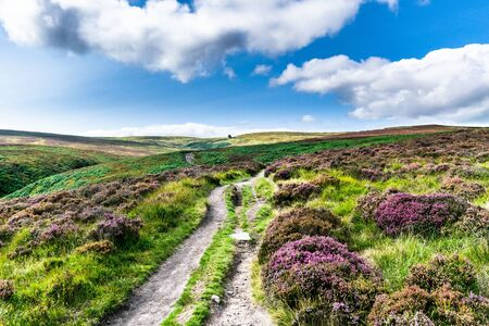 Purple heather near a footpath. Haworth moor. Yorkshire