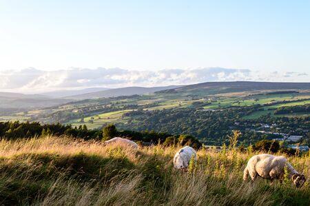 Sheep. Ilkley moor.Yorkshire 版權商用圖片