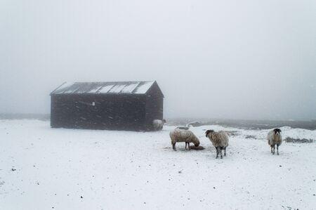 Sheep in a snow storm, Ilkley moor. England Reklamní fotografie