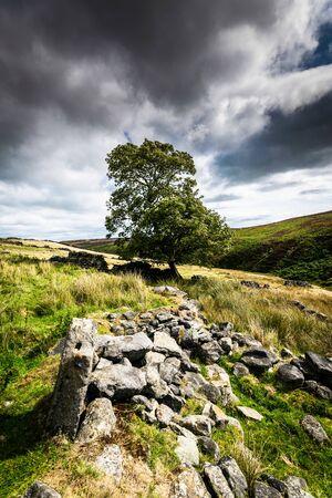 An ancient wall and tree. Haworth moor. Yorkshire