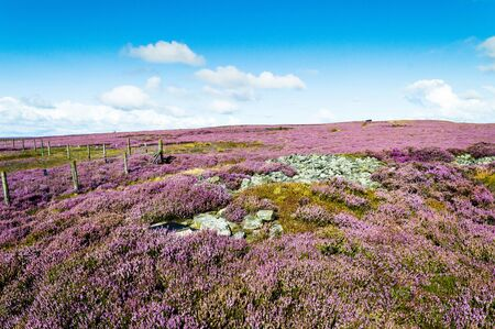 Purple heather in bloom. Ilkley moor. Yorkshire 版權商用圖片