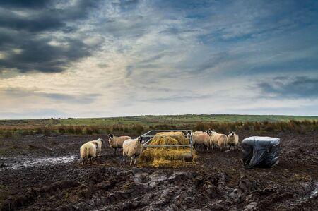 Sheep eating in a muddy field Banco de Imagens